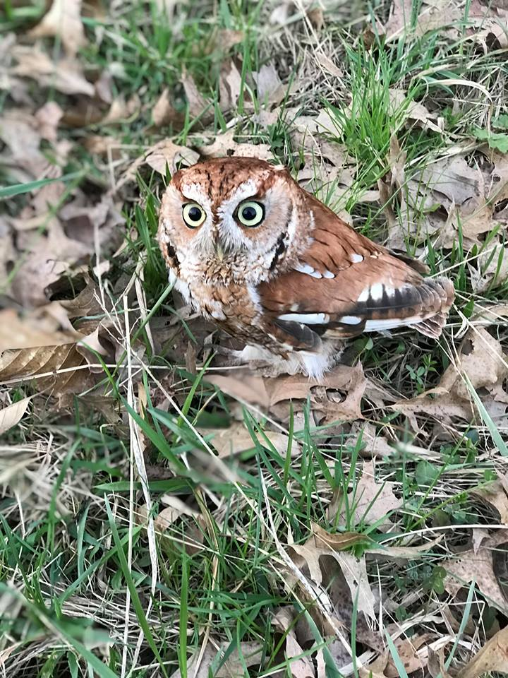 A Lesson in Survival From Ollie the Owl